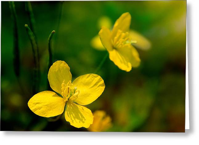 Memories Of The Buttercup Greeting Card