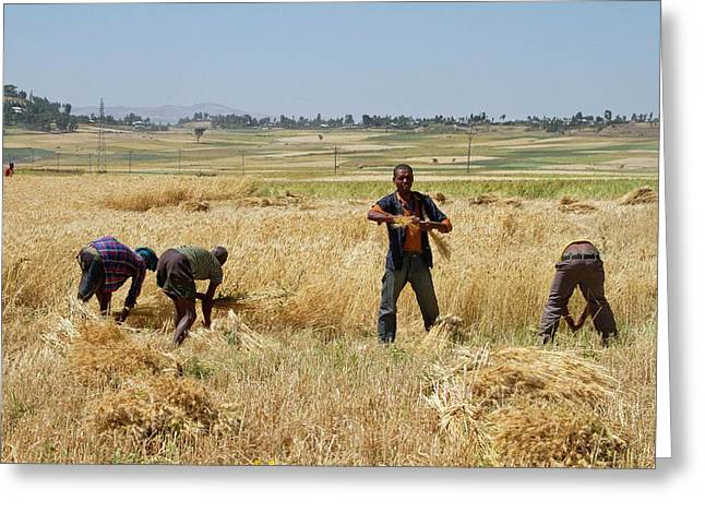 Men Harvesting Wheat Greeting Card by Photostock-israel