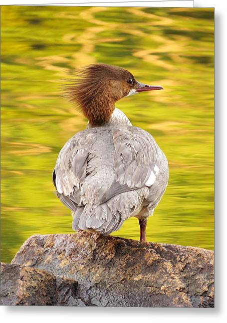 Merganser On Bubble Pond Greeting Card by Acadia Photography