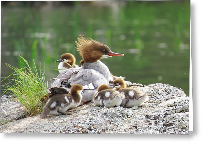 Merganser With Chicks Greeting Card by Acadia Photography