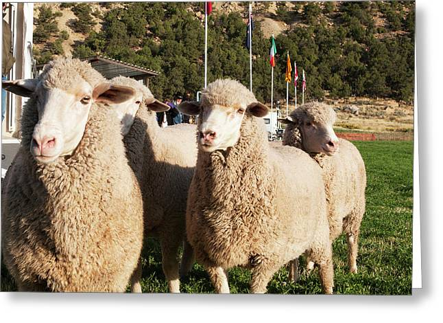Merino Sheep, Flags In Background Greeting Card by Piperanne Worcester