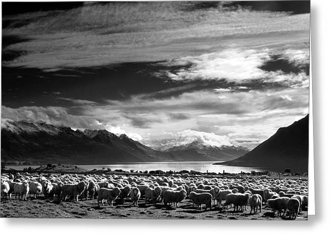 Merinos At Lake Wakatipu Greeting Card
