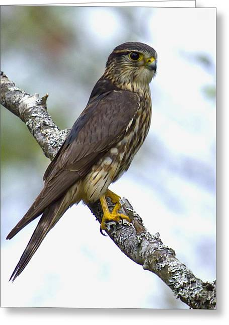 Merlin Falcon Greeting Card by Nancy Dempsey