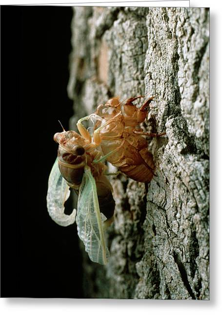 Metamorphosis Of A Cicada From Nymph To Adult Greeting Card
