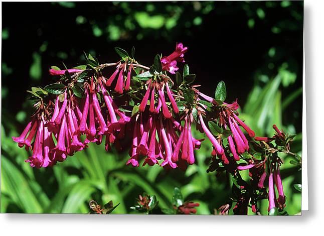 Mexican Abelia Abelia Floribunda Photograph By Tony Woodscience