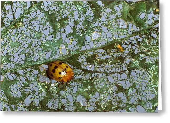 Mexican Bean Beetle Greeting Card