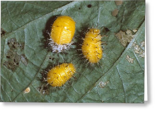 Mexican Bean Beetle Larvae Greeting Card