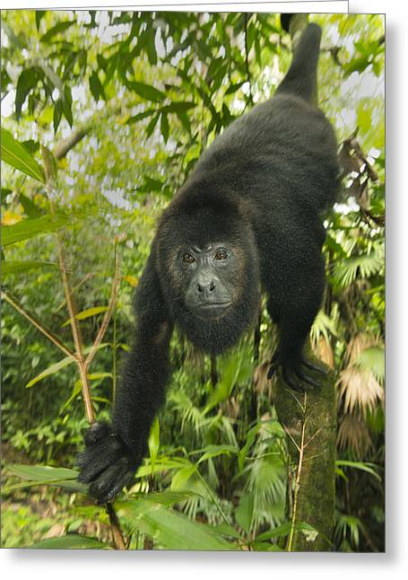 Mexican Black Howler Monkey Belize Greeting Card