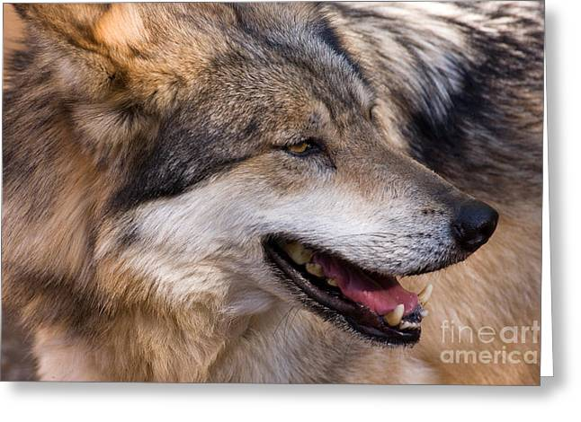 Greeting Card featuring the photograph Mexican Gray Wolf by Chris Scroggins