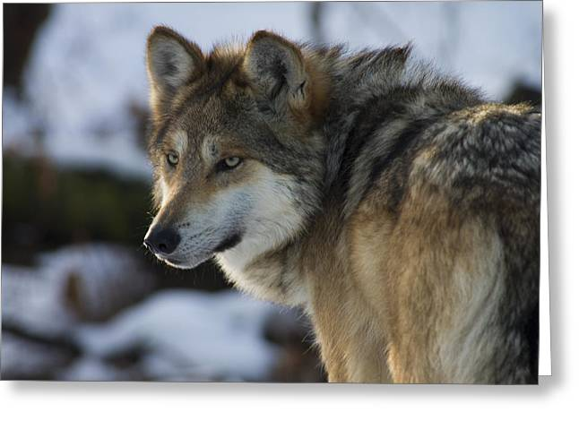 Mexican Gray Wolf Greeting Card