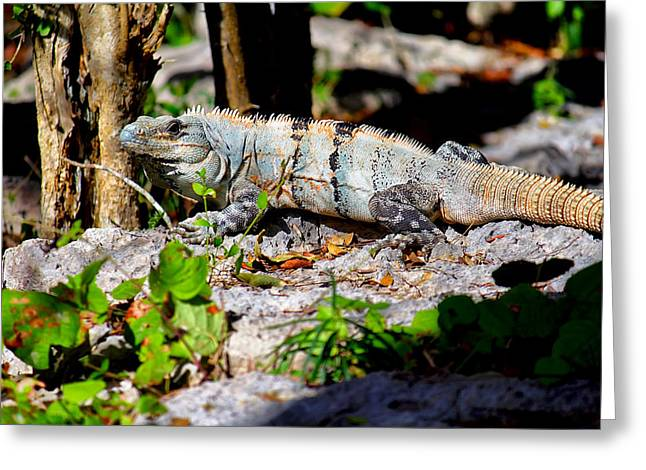 Mexican Iguana Greeting Card by Jason Politte