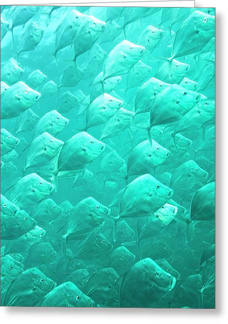 Mexican Lookdown Shoal Greeting Card