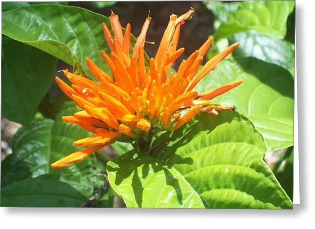 Mexican Orange Honeysuckle  Greeting Card by Lisa Williams