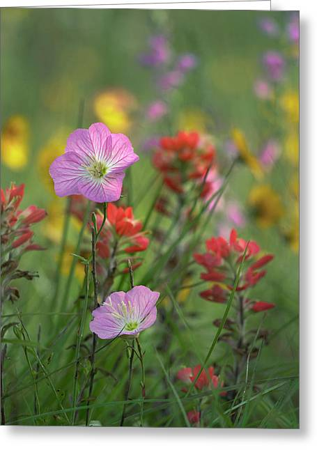 Mexican Primrose And Paintbrushes Greeting Card