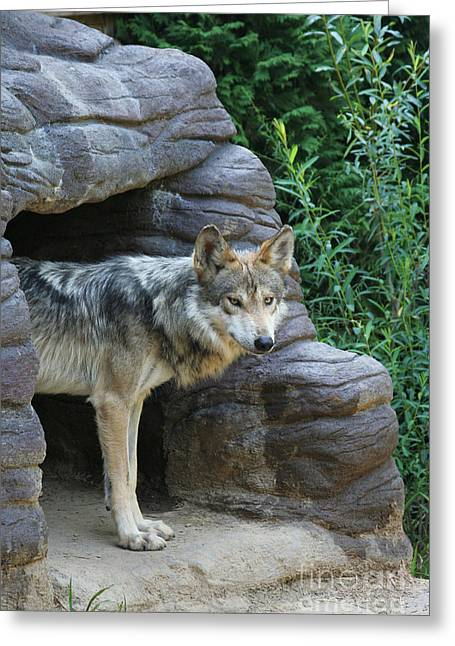 Mexican Wolf #2 Greeting Card