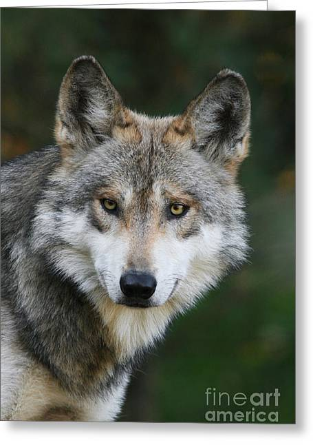 Mexican Wolf #3 Greeting Card