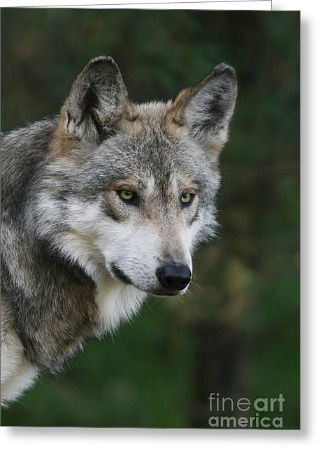 Mexican Wolf #4 Greeting Card