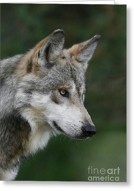 Mexican Wolf #5 Greeting Card