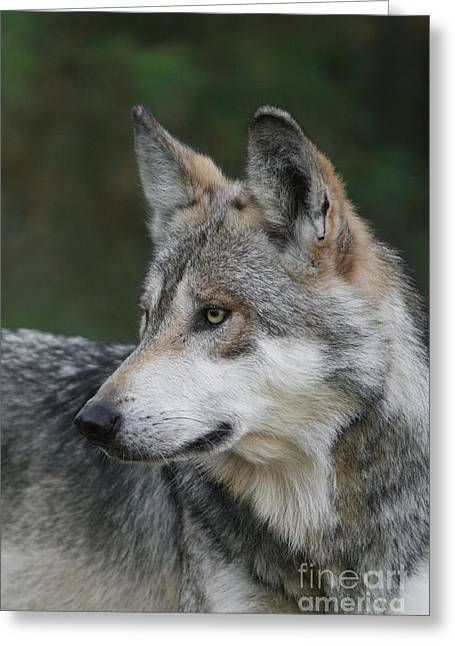 Mexican Wolf #6 Greeting Card by Judy Whitton