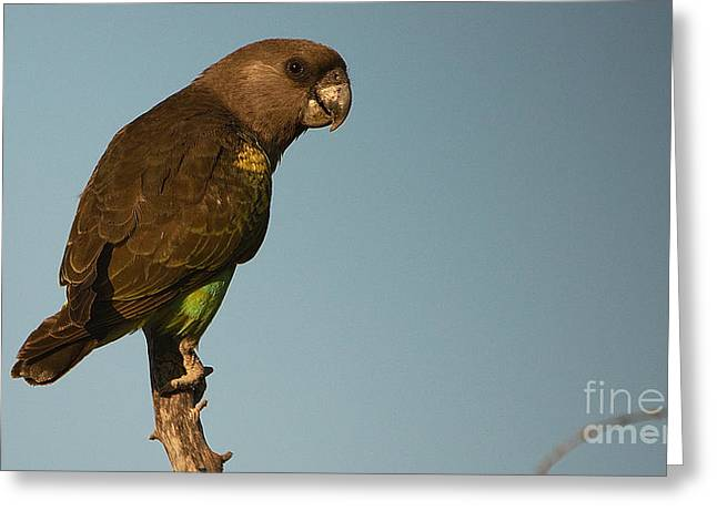 Meyer's Parrot Greeting Card