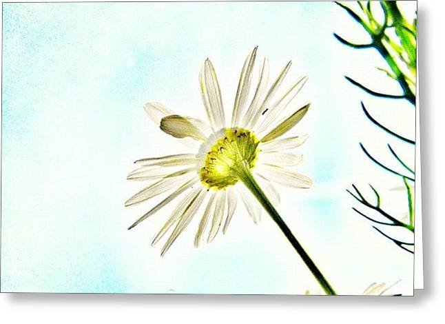 #mgmarts #daisy #flower #morning Greeting Card by Marianna Mills