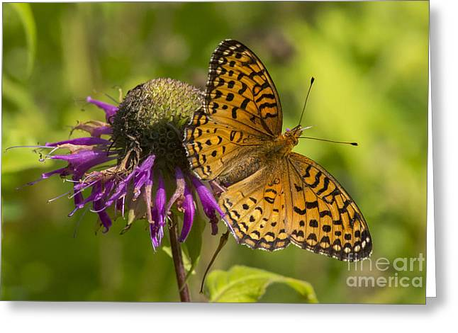 Michigan Fritillary Greeting Card