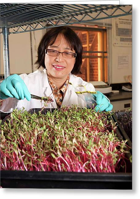 Microgreen Nutrient Research Greeting Card by Peggy Greb/us Department Of Agriculture