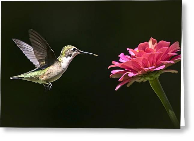 Mid Air Hummingbird Greeting Card by Christina Rollo