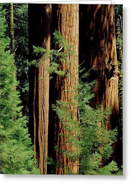 Mid Section Of Giant Sequoia Trees Greeting Card