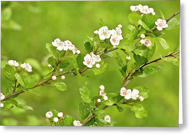 Midland Hawthorn (crataegus Laevigata) Greeting Card by Bob Gibbons