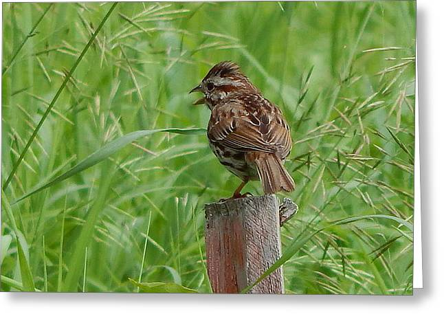 Mighty Sparrow Greeting Card