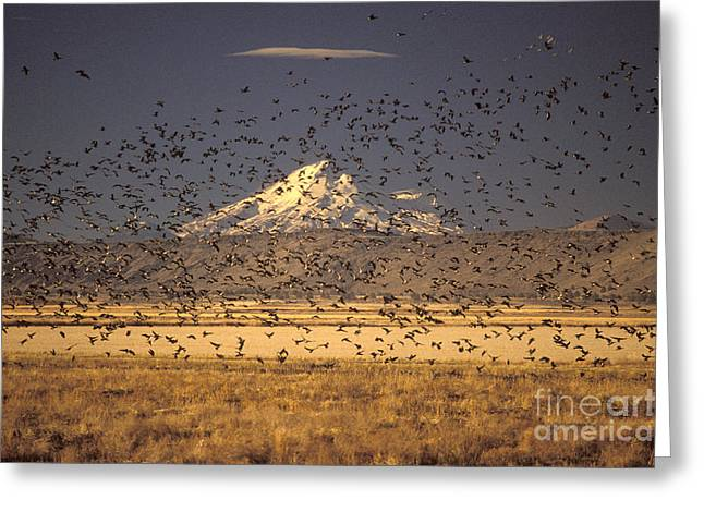 Migrating Flock Canada Geese Greeting Card by Ron Sanford