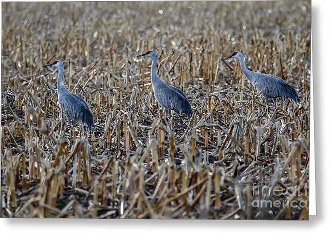 Migrating Sandhill Cranes Greeting Card