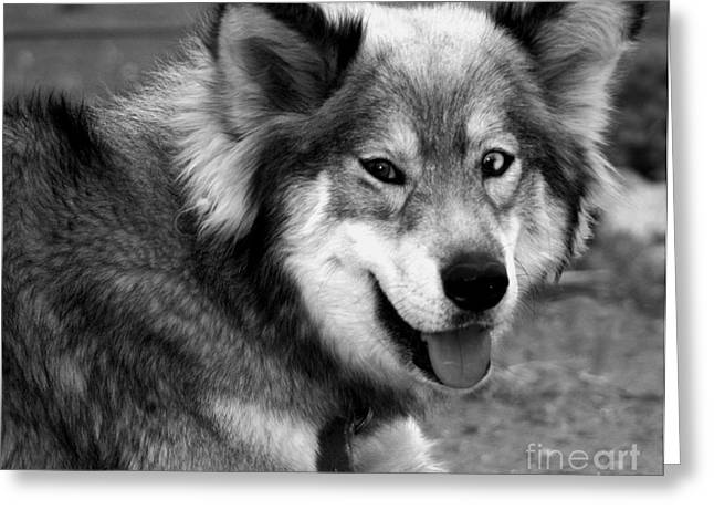 Miley The Husky With Blue And Brown Eyes - Black And White Greeting Card by Doc Braham