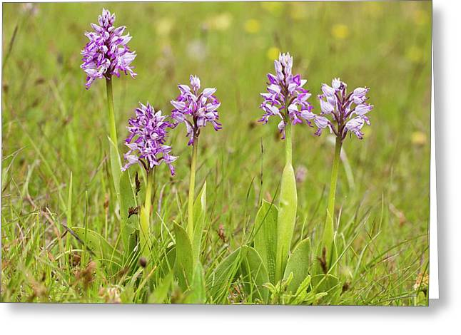 Military Orchid (orchis Militaris) Greeting Card by Bob Gibbons