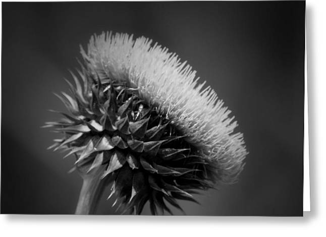 Milk Thistle Bw Greeting Card by Maria Urso