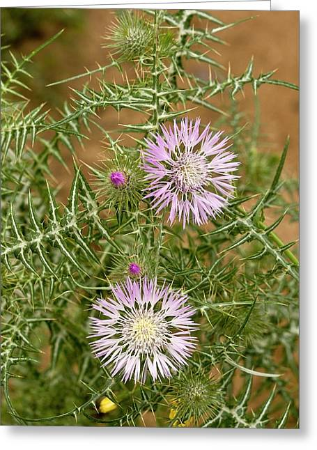 Milk Thistle (galactites Tomentosa) Greeting Card by Bob Gibbons