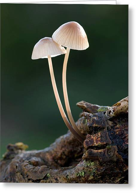 Milking Bonnet Fungi (mycena Galopus) Greeting Card by Nigel Downer