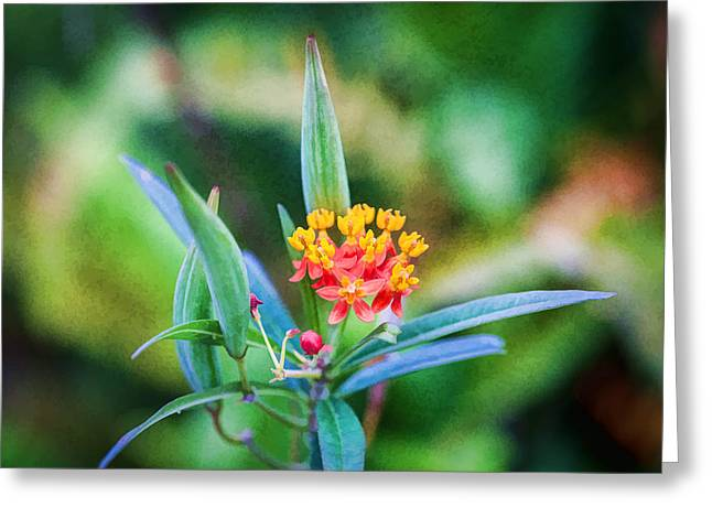 Milkweed Butterfly Weed Greeting Card by Rich Franco