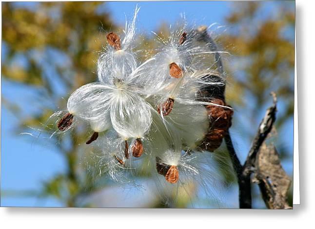 Milkweed Explosion Greeting Card by Neal Eslinger