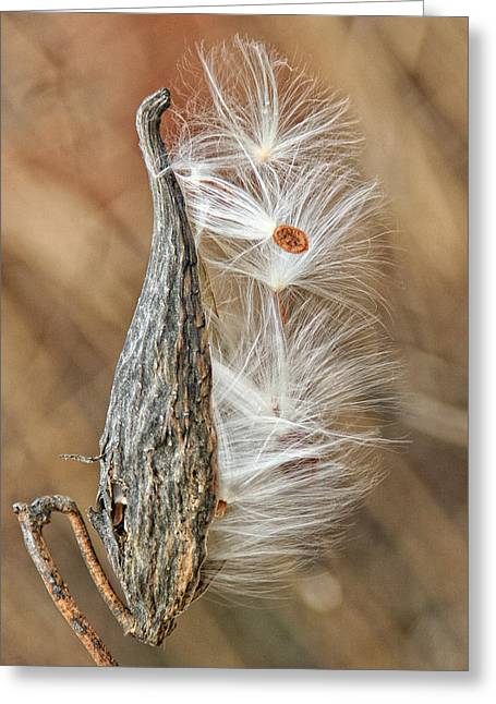 Greeting Card featuring the photograph Milkweed Pod And Seeds by William Selander