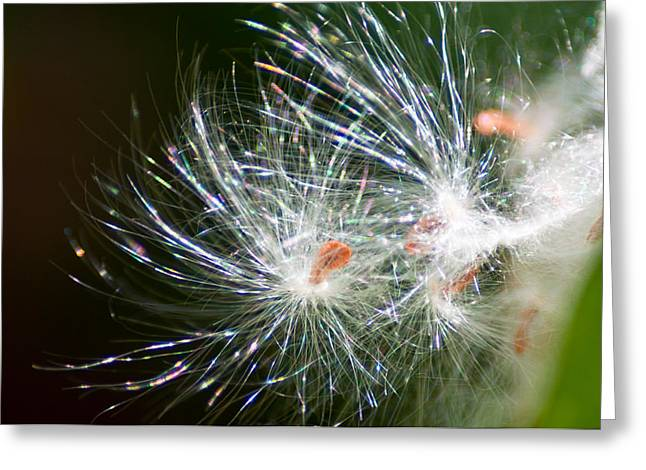 Milkweed Seed Greeting Card by Eric Rundle