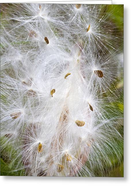 Milkweed Seeds And Fluff Greeting Card