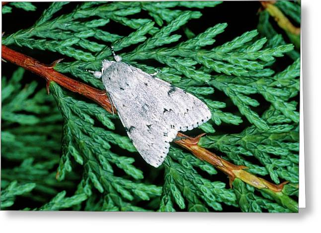Miller Moth (acronicta Leporina) Greeting Card by Tony Wood/science Photo Library