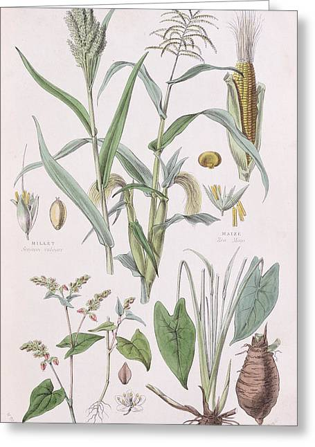 Millet Maize Buckwheat And Taro Greeting Card by W Fitch