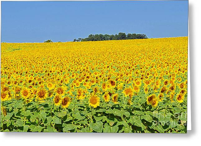 Millions Of Sunflowers Greeting Card