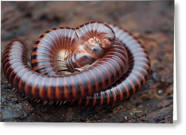 Millipedes Mating Greeting Card by Melvyn Yeo