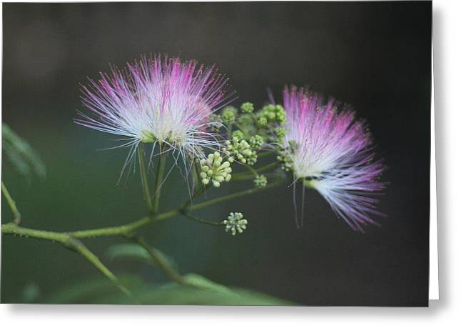 Mimosa Blooms Greeting Card by Cathy Lindsey