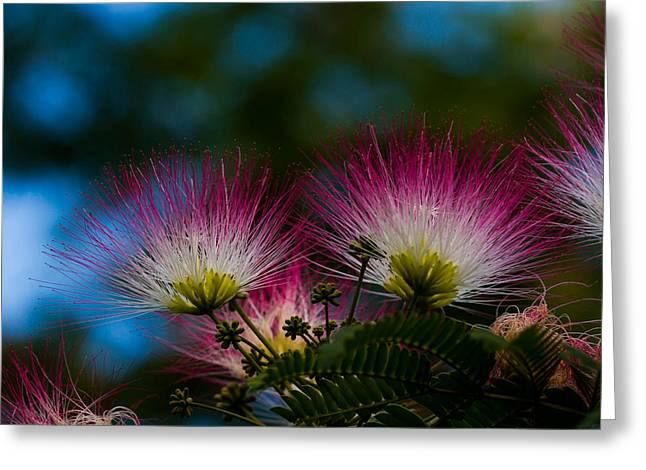 Mimosa Blossoms Greeting Card by Haren Images- Kriss Haren