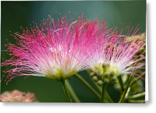 Mimosa Greeting Card by Kim Pate
